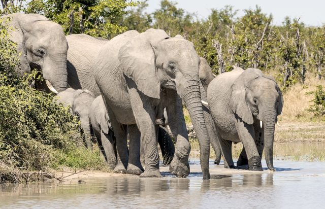 Making An Entrance by Fiona Haddon Elephant Photography