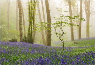 Bluebells-My Blue Ladies by Paul Haddon Photograpgy