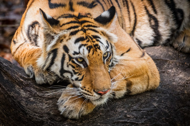 Chris Weston Royal Bengal Tiger