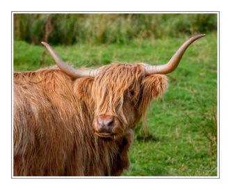 Paul Compton PhotographyHighland-Cow-