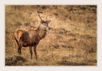 Paul Compton PhotographyWild-Deer-Invercharnan
